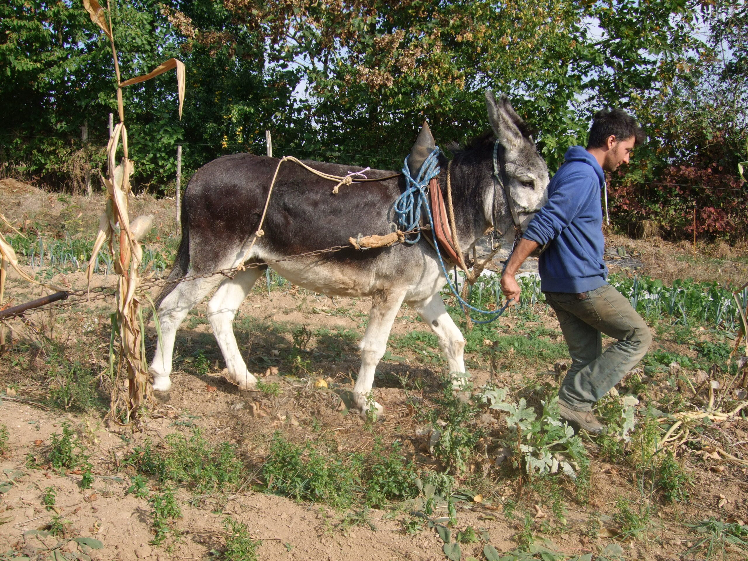 traction animale agricole